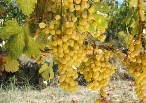 vini-bianchi-sardegna-marcopolonews