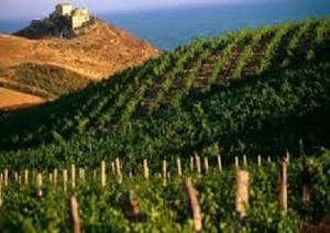 vendemmia-sicilia-2014-marcopolonews