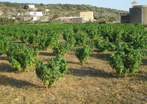 vite2-alberello-pantelleria-marcopolonews