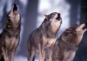 lupi-marcopolonews