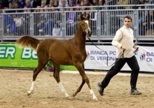 cavallo arabo mpn