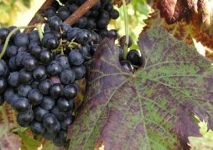 vitigno-terrano-marcopolonews