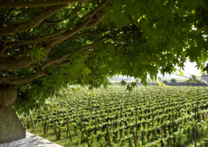 original_Le-vigne-di-1701-Franciacorta